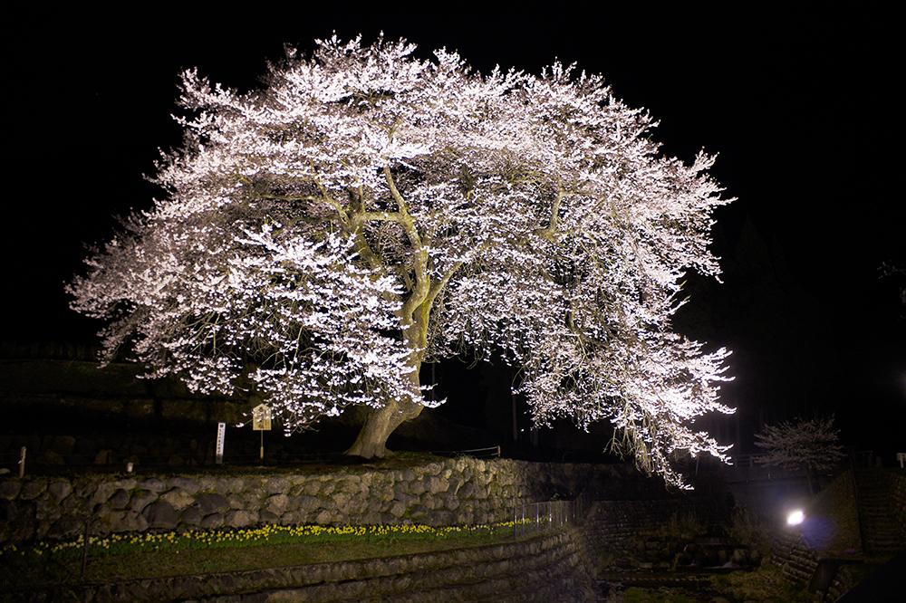 夜善兵衛桜
