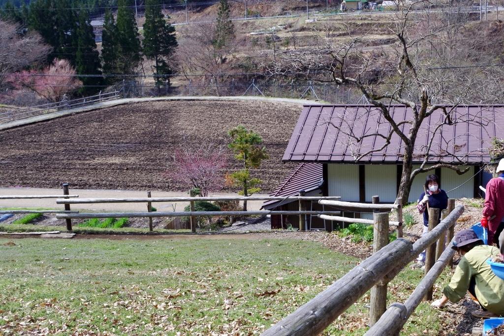 國田家の芝桜(4/12)今年は10日程開花が遅れています