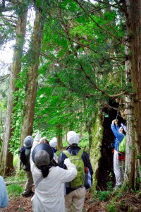 旧熊野権現の巨木(杉)
