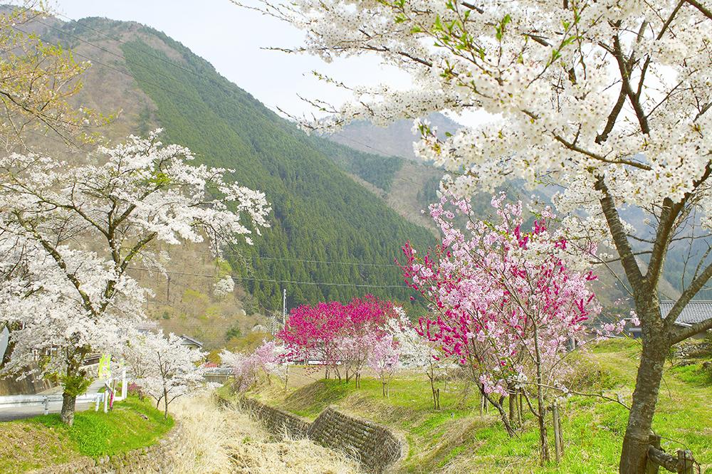 善兵衛桜への道