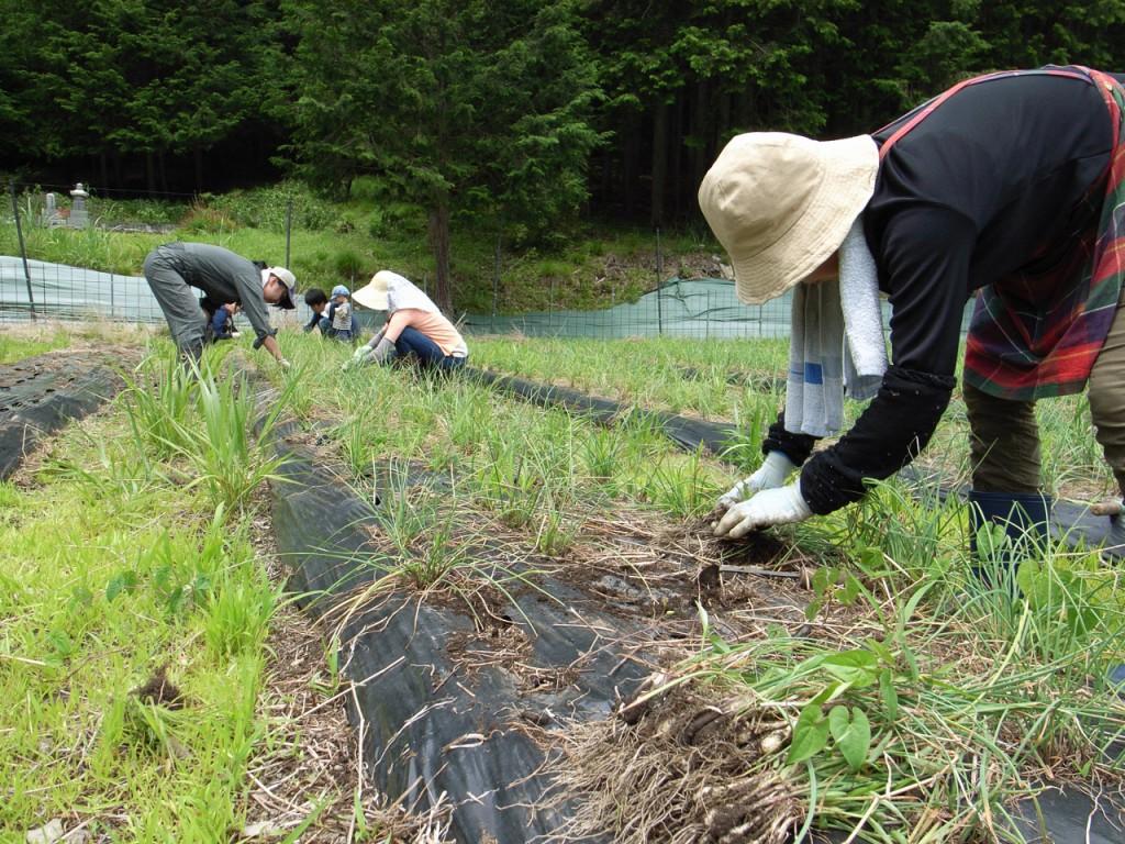 らっきょう畑で収穫体験